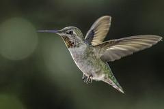 Anna's Hummingbird (Bob Gunderson) Tags: sanfrancisco california birds northerncalifornia ngc hummingbirds missiondistrict annashummingbird calypteanna canoneos7dmarkii