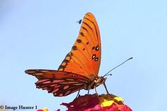 Wing Walker (Image Hunter 1) Tags: pink blue sky orange flower nature yellow butterfly fly wings louisiana wildlife bayou swamp bloom marsh lantana gulffritillary bayoucourtableau
