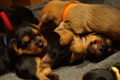 Loretta/Scout puppies