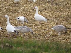 Snow Geese, Point Au Roche, Clinton, NY, Nov 13th, 2014 (tpreston87) Tags: geese adirondacks