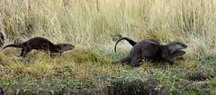 River Otters (rwleslie58) Tags: wildlife wyoming riverotters grandtetonnationalpark 41880 cattlemansbridge