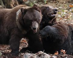 brown bear Ouwehands JN6A6799 (j.a.kok) Tags: beer bear bruinebeer brownbear ouwehands ouwehandsdierenpark ouwehandszoo igor