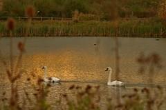 1342-19L (Lozarithm) Tags: calne lowlane lowercompton landscape pools hillspools swans pentax zoom k1 28105 hdpdfa28105mmf3556eddcwr justpentax