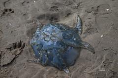 Beached (Trev Earl) Tags: canon fullframe lserieslens jellyfish beach sand blue coast llansteffan wales