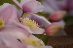 Belle (alainebarnekow) Tags: beauty beautiful beautifulnature macro macrodreams ilovenature naturepics nature natural flower flowers