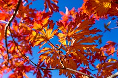 Sunlight Through Fall Leaves ((Jessica)) Tags: autumn pw seasonal foliage massachusetts seasons trees boston fall arboretum arnoldarboretum newengland blue sky red redandblue sun bluesky leaves autumnleaves flickrfriday