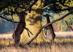 Handbag at dawn (muppet1970) Tags: reddeer deer helminghamhall suffolk standing oak tree nature wildlife
