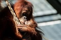 mother's love (Saarblitz) Tags: mutterliebe mothers love orang utan affen menschenaffen tier portrt baby nachwuchs zoo neunkirchen rezeki nanti geburt zuwachs familie fantastic nature ngc