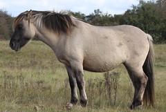 konik-horse (bugman11) Tags: konik horses horse mammal mammals fauna animal animals nature nederland thenetherlands canon 100mm28lmacro 1001nights 1001nightsmagiccity thegalaxy