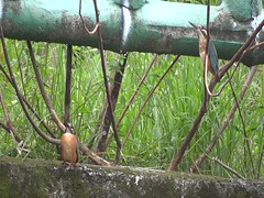 00041 (phenixliu68) Tags: kingfisher  nature bird