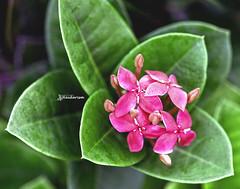 Pink & Green (haidarism (Ahmed Alhaidari)) Tags: pink flower bud plant bokeh outdoor nature depthoffield sonya65 macro macrophotography green leaf ngc