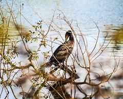 Juevenile Cormorant (Alan FEO2) Tags: cormorant juvenille aquatic waterfowl birds feathers wings beak tail branches reflection whitfiledvalleynaturereserve stokeontrent staffordshire panasonic dmc g1 2oef