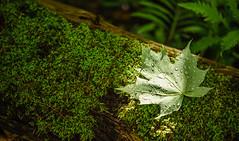 Wet (Sandra's Weeds) Tags: nature sandrafelt sandravfelt leaf raindrops moss log naturallight