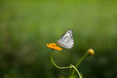 Butterfly (Manzur Ahmed) Tags: butterfly green bokeh cosmos yellow bud nature live outdoor october 2016 nikon d7100 18140 dhaka bangladesh