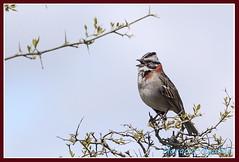 Chingolo - Rufous Collared sparrow (Florin Paucke) Tags: zonotrichiacapensis rufouscollared sparrow chingolo pjaro ave bird campo cantor argentina ecologa ornitologa biologa biodiversidad naturaleza naturalista passeriformes llanura pastizal ecosistema