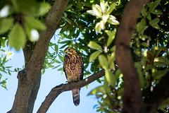 (Reflexionist) Tags: falco uccello rapace animale natura allaperto albero ramo sguardo diffidenza hawk bird raptor animal nature outdoor tree branch look distrust nikon nikonitalia nikond750 d750 reflexionist