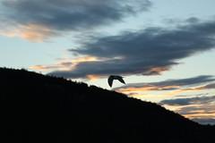 Seagull (DanaRane) Tags: 2016 2016october hiking orcasisland sunrise ferry seagull