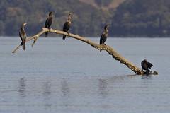 Phalacrocorax brasilianus (Luiz Baroni Junior) Tags: 2012 ano apadeguapimirim aves baiadeguanabara biguphalacrocoraxbrasilianus cidade guapimirim lugares riodejaneiro