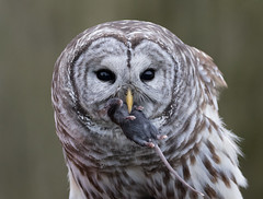 Eating my dinner (Maja's Photography) Tags: bc birds owls barredowl barred raptors rain wildlife wilderness wild wings feathers forest mouse mice eating dinner closeup portrait