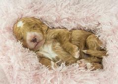 Sleeping Puppy (ToriAndrewsPhotography) Tags: sleeping puppy cockerpoo asleep cute dog photography tori andrews