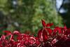 Punane metsviinapuu (Jaan Keinaste) Tags: pentax k3 pentaxk3 eesti estonia loodus nature punane red metsviinapuu harilikmetsviinapuu parthenocissusquinquefolia