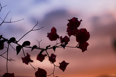 A Hint of Color (F.emme) Tags: goldenhour flowers pink sunset artofphotography assignment1variations smcpentaxa smcpentaxa50mm 50mm bougainvillea