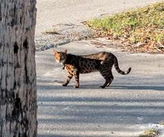 2016- Neighborhood Cat 02 (teresamarkos) Tags: cat cats kitten kittens felines feline