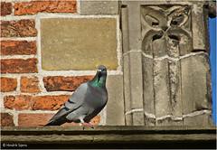 Pigeon (Hindrik S) Tags: pigeon do duif dove city sonyphotographing sony sonyalpha a57 57 slta57 red stone stien steen stein brick baksteen bakstien tower oldehove aldehou detail tamronaf16300mmf3563dillvcpzdmacrob016 tamron 16300 kh2018 kulturelehaadstd2018 2016 bird fgel vogel animal dier bist flying vliegen fleane