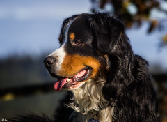 Unser Ben... (roland_lehnhardt) Tags: canon sigma120400mm tele hund dog dogtrait hundeportrait bernersennenhund bernesemountaindog dof pov haustier bokeh tiere animals family house pet