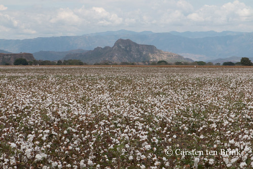 Colombia cotton