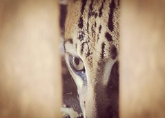 Jaguatirica (Leopardus pardalis). (leovigildo Santos) Tags: jaguatirica leoparduspardalis animalendangered tropical brazil fauna animal natureza naturaleza natural captivity cerrado savannah savana felino tocantins canto unidadedeconservao parqueestadual amaznia rainforest
