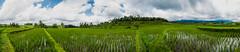 Arrozales de Jatiluwith (fns-k) Tags: agricultura arroz asia bali campo campos cereales espaa europa gusto indonesia islasbaleares mallorca palmera panormica sentidos planta rbol