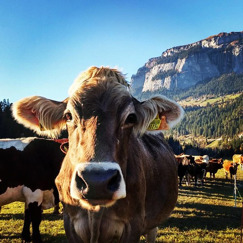 Swiss alps style #cow watching the world go by.