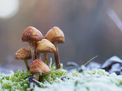 Frozen mushrooms (michaelmueller410) Tags: pilz pilze frost eis moss mushrooms makro macro closeup baumstumpf harz