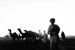 @ Pushkar camel fair,Rajasthan. (vjisin) Tags: pushkar rajasthan india iamnikon nikond3200 asia camel incredibleindia indianheritage travelphotography pushkarcamelfair herder inexplore outdoor animal travel nikon nikonofficial surreal sunlight dawn silhouette ngc sky blackandwhite monochrome turban