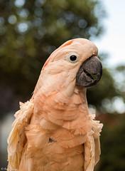 Moroccan Cockatoo Parrot (Owen Piscopo) Tags: owenpiscopo nikon nikond750 nikon2470f28 malta birdparkmalta parrot cockatoo bird