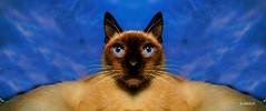 Catorama (dale kobetich) Tags: cat kittens feline wiskers purina friskies pussy purr surf fatcat camera meow tale tail eyes morris