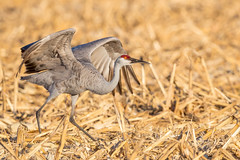 On the runway for taking off ... (Eric SF) Tags: sandhillcrane bird takeoff lodi california