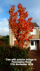 Tree with autumn foliage Pennington Road 17th November 2016 (D@viD_2.011) Tags: tree with autumn foliage pennington road 17th november 2016