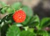 """Strawberry """"light"""" (Nikos Roditakis) Tags: strawberries garden fruits nikos roditakis nikon d5200 af s nikkor 1855mm vr"""