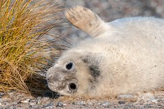 Baby Seal (fascinationwildlife) Tags: animal mammal gray sea seal wild wildlife nature natur north nordsee helgoland island beach coast pup young cute deutschland germany winter kegelrobbe robbe