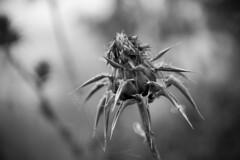 Flower_ (Michael Desimone) Tags: flower weed 28 michael desimone photography australia