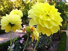 Dalias amarillas (nora4santamaria) Tags: botnicomadrid flores 7dwf