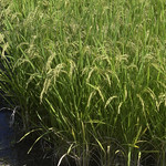 Rice Plants thumbnail