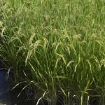Rice Plants thumbnail