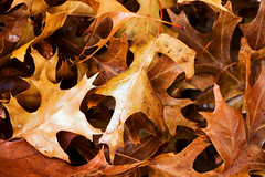 Pin Oak leaves 2016 (hz536n/George Thomas) Tags: canon5d pinoak 2016 cs5 december ef100mmf28lmacroisusm oklahoma winter copyright leaves stillwater