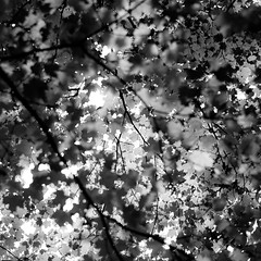 Up Through Trees 031 (noahbw) Tags: captaindanielwrightwoods d5000 dof nikon abstract blackwhite blackandwhite blur branches bw depthoffield forest leaves light monochrome natural noahbw patterns shadow square summer trees woods