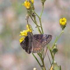 Columbine Duskywing _1845  ( Erynnis lucilius ) (agawa2yukon) Tags: lepidoptera hesperiidae pyrginae butterfly butterflies