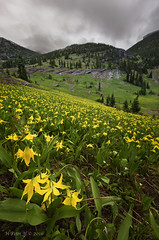 Not ready to get up and dance (ScorpioOnSUP) Tags: continentaldividetrail glacierlily glaciernationalpark graniteparkcharlet graniteparktrail montana swiftcurrentmountain adventure clouds cool green landscape landscapephotography lush mountainrange mountains nature outdoors overcast sky theloop wildflowers yellow