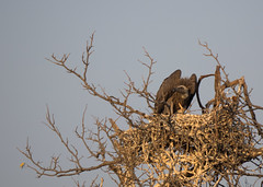 Geier (lia_118) Tags: afrika safari geier chobenationalpark